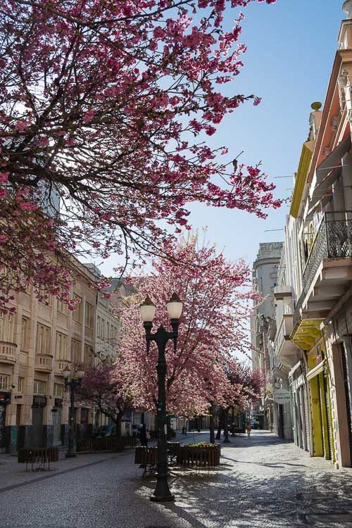Cerejeiras em Curitiba