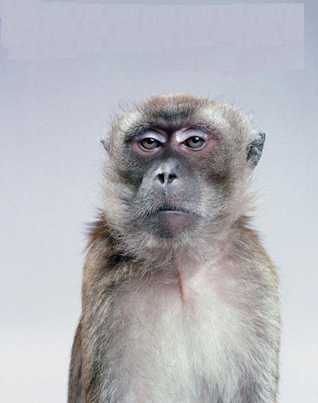 macaco sério