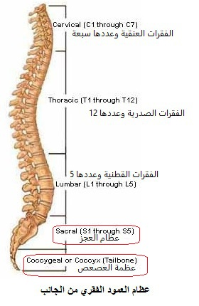 whole-spine