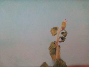 11- Al final se seca toda ella pereciendo la planta de estevia