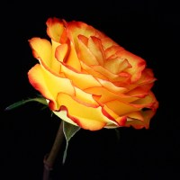 Yellow Orange Rose