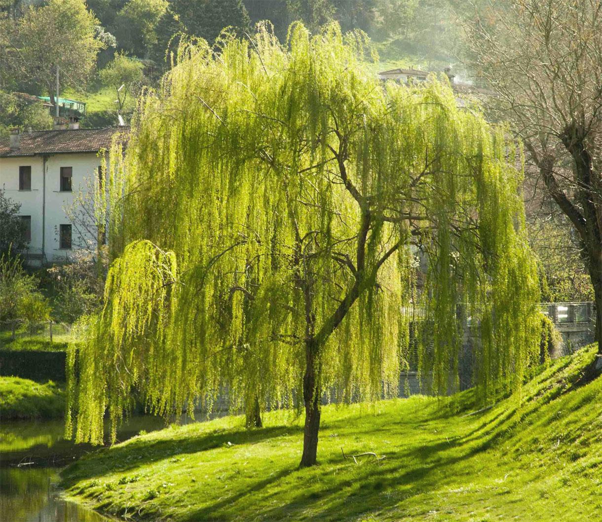 La località di Ad Salices, nei pressi di Marcianopoli, era così chiamata per i numerosi salici che vi crescevano.