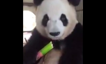 Here's the Close-up Video of a Panda Eating Bamboo You Didn't Know You Wanted