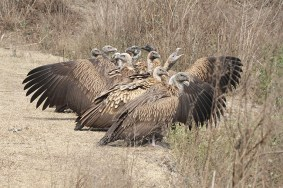 Vultures-in-the-bank-of-Bagmati-Rajendra-Gurung-1