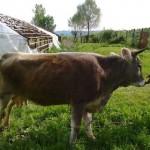 vaca-bruna-de-maramures