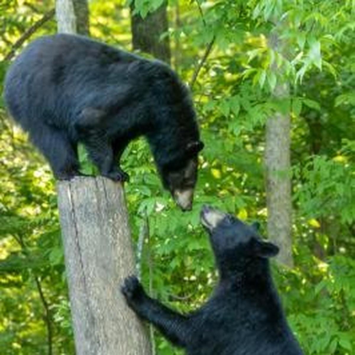 black bears mating stan