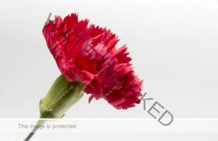 Imagen que muestra un clavel rojo