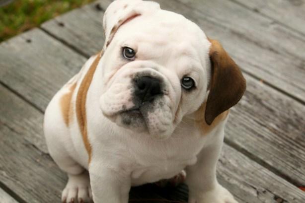 english-bulldogs-puppies-1024x682-1