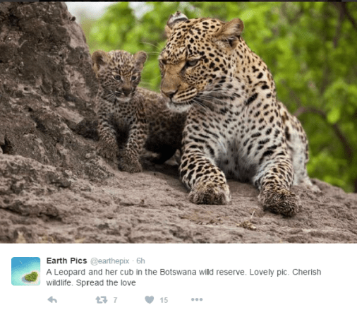 Leopards in Botswana.