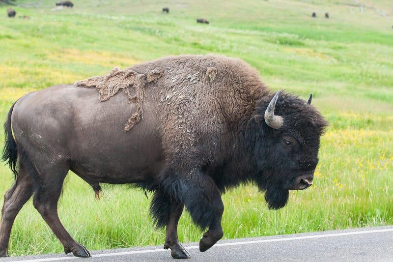 watch raging bison fling