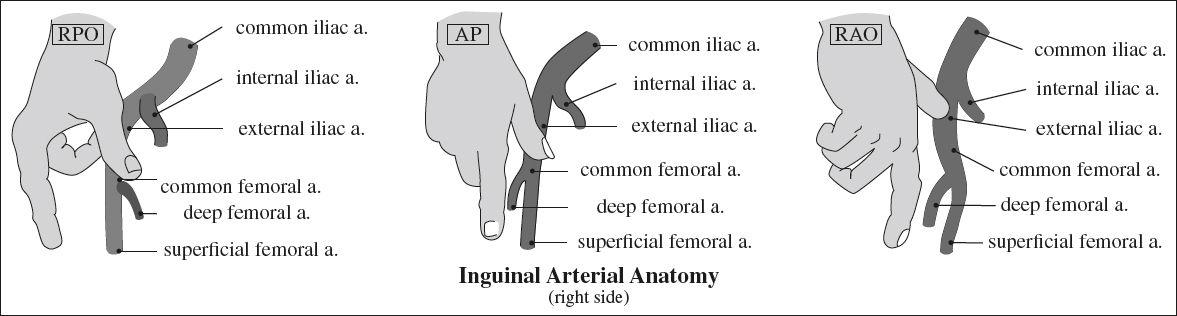 Anatomy | Radiology Key