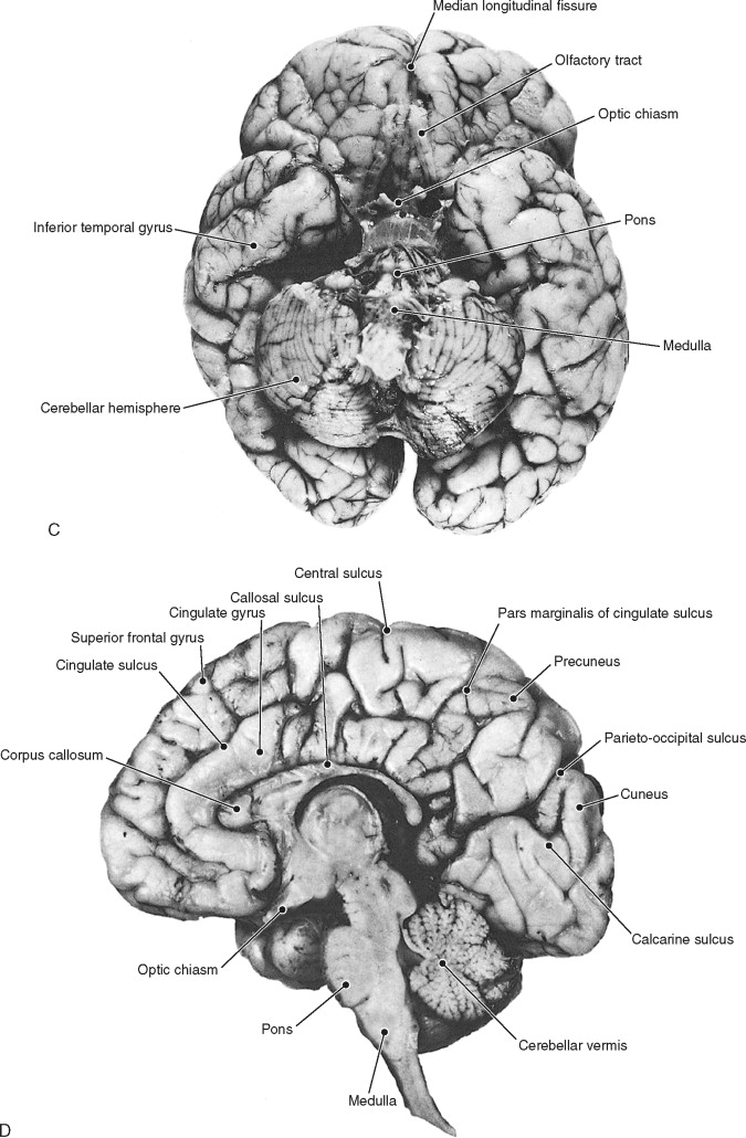 Sulcus Anatomy - Anatomy Drawing Diagram