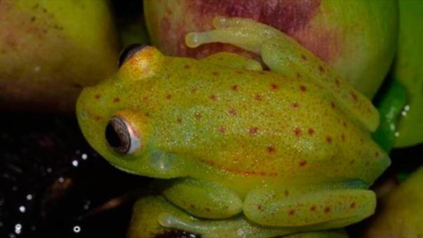 Ejemplar de Hypsiboas punctatus a la luz natural.