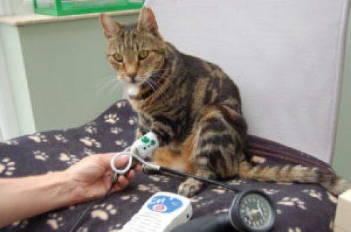 Los gatos también son hipertensos - Los-gatos-tambien-son-hipertensos_image_380-300x199