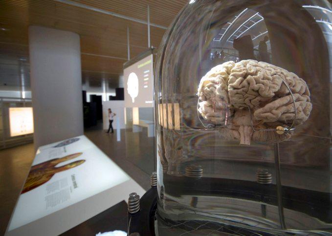 Detalle de un cerebro que se muestra en el Museo de la Evolución Humana. EFE/Santi Otero