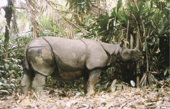 LRinoceronte de Java captado por una cámara para el estudio. / World Wildlife Fund - Indonesia