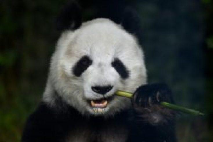 Los pandas gigantes, amenazados por el cambio climático - 3c010853809a3d50cfee07e338f8886c22680749-300x200