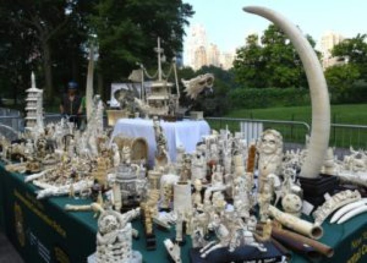 EEUU pulveriza casi dos toneladas de marfil en Central Park - 966bfc96605f657c24afd192a2ab40822fa42e05-1-300x215