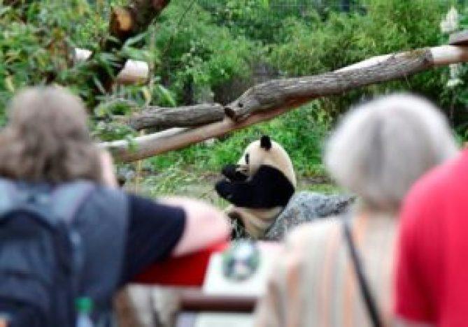 Los pandas gigantes, amenazados por el cambio climático - dcf5a1a60ae0c4ff3bd63b6042bf3a03d7db370f-300x210