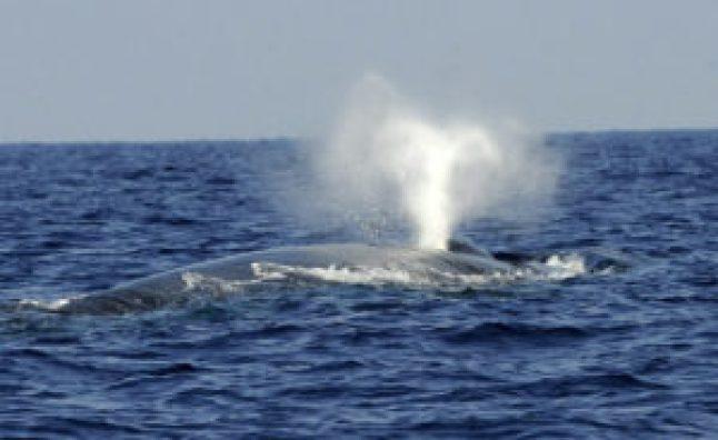 Las ballenas azules son sobre todo diestras - 307a96ca09c2473c87c433f6b5108bbe91c7809a-300x184