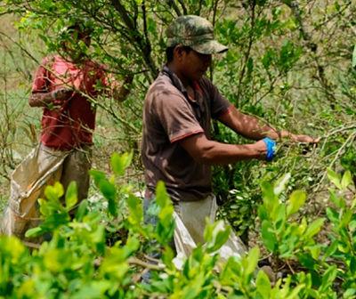 Análisis La agonía del campesino cocalero en Colombia - coca