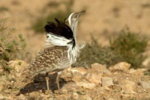 La caza de avutarda, un lujo para jeques en Pakistán, en peligro de extinción - th_1cce678baa2865fe866ba90e481edd63_Fuerteventura-Hubara-300x200