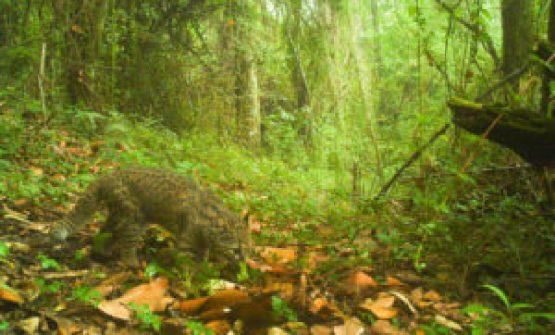 La mayor amenaza de este gato salvaje chileno es la división de su hogar - 180117_Guina-camera-trap-photo-by-Nicolas-Galvez_image671_405-300x181