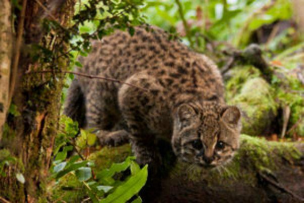 La mayor amenaza de este gato salvaje chileno es la división de su hogar - La-mayor-amenaza-de-este-gato-salvaje-chileno-es-la-division-de-su-hogar_image_380-300x200