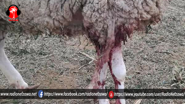 كلاب سائبة ترتكب مجزرة في 'زريبة' ماشية (صور)