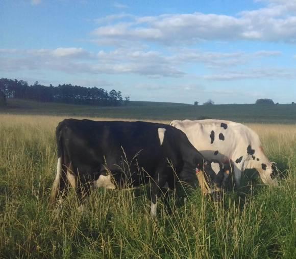 Las emisiones de metano y la producción lechera en Uruguay