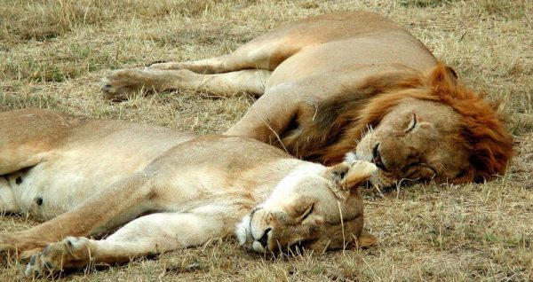 Image of a lion and lioness sleeping in the Serengeti