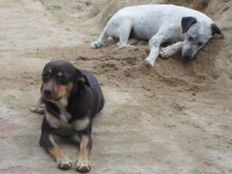 Cachorros desaparecidos 001