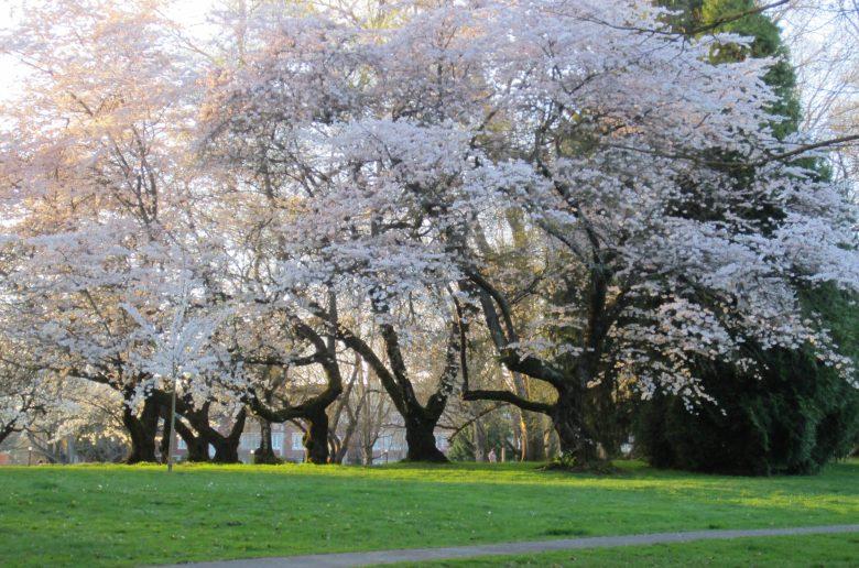 a small grove of trees with pink springtime blossoms, Portland Oregon
