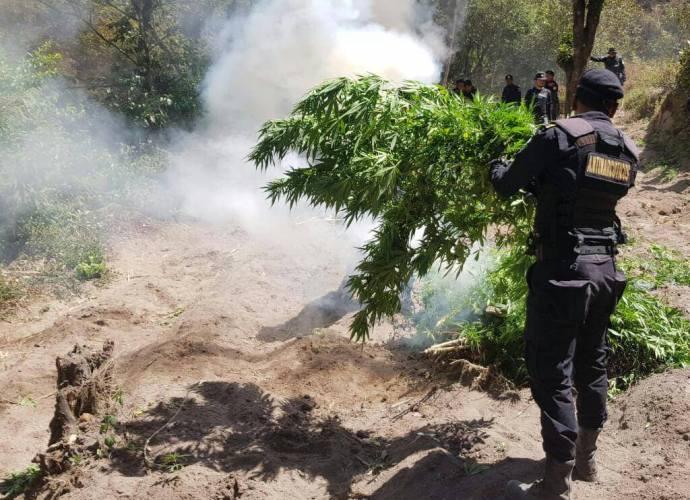 PNC erradica marihuana valorada en 35 millones en Totonicapán