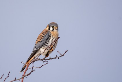 Beautiful male American Kestrel