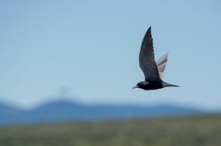 Black Tern in flight with the Blackfoot River Valley beyond