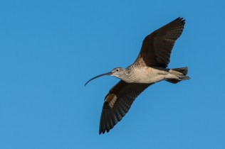 Long-billed Curlew on territory