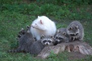 RACCOONS IN THE NEWS: If it doesn't have a mask or rings on the tail is it still cute?