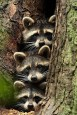 RACCOON-ish IN THE NEWS: New Species Revealed to the World