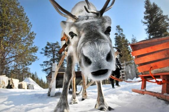 big_reindeer-safari
