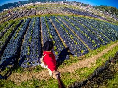 strawberry farm at La Trinidad, Benguet