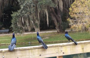 grackles on rail close