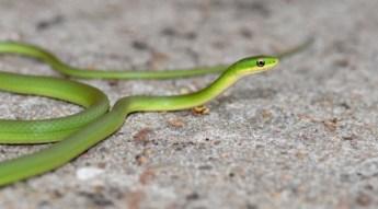 rough_green_snake-900x500