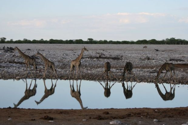 Etosha National Park - Giraffe alla waterhole