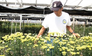 Ron Muranaka looks over chrysanthemums at Muranaka Mums in September. The farm closed shortly afterwards, and was the last Japanese American mum farm in Orange County. (MARIO G. REYES/Rafu Shimpo)