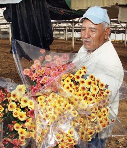 Asuncion Robles gathers bouquets of chrysanthemums.