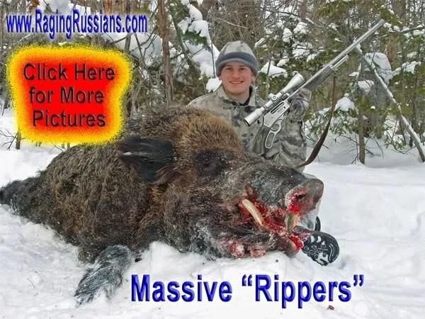 Russian Boar in Head to Head Combat