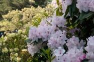 Invercargill – Azalée ou rhododendron