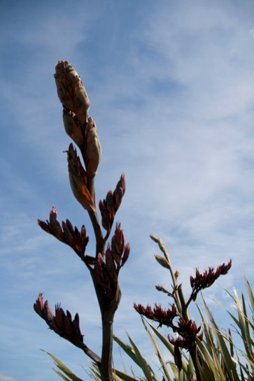 Nugget Point, The Catlins – Harakeke ou lin de Nouvelle-Zélande Les Maoris utilisaient les fibres de l'harakeke pour divers usages : vêtements, pièges à oiseaux, paniers et ustensiles, chaussures, cordes, ...