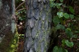 Cathedral Cave, The Coromandel L'arbre poisson aux écorces-écailles